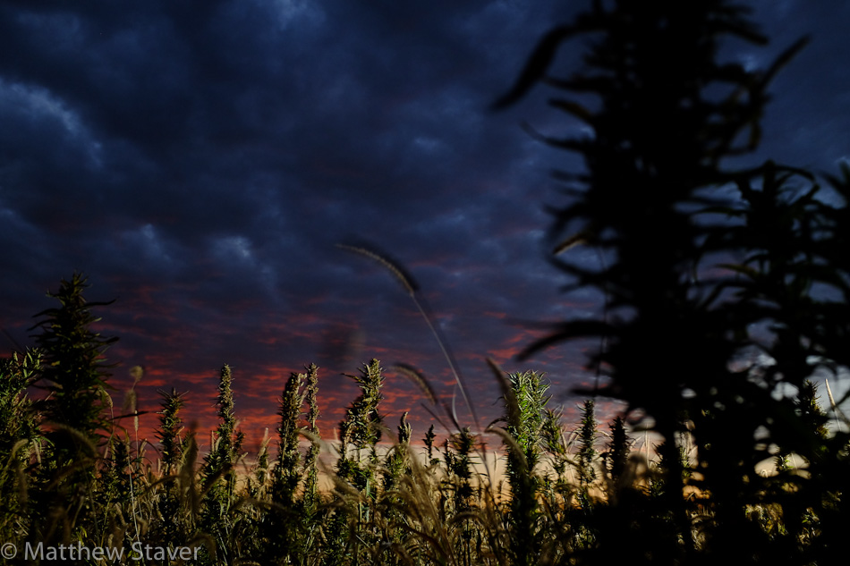 Hemp_Colorado_staver_011