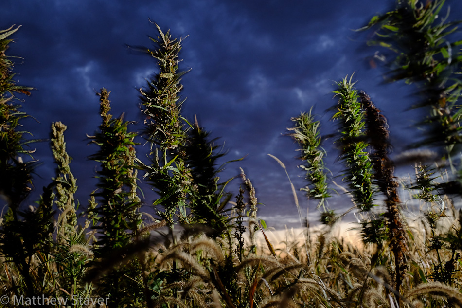 Hemp_Colorado_staver_012