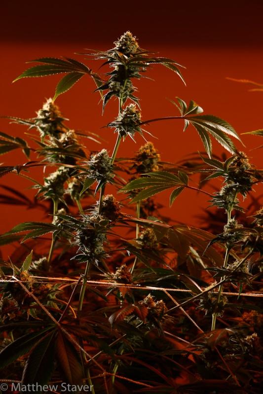 Colorado_Cannabis_082