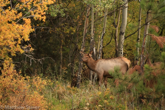 Estes Park, CO – October 4, 2015 Elk eat and wander in Estes Park before the Elk Bugling Contest that is part of the 17th annual Elk Fest in Estes Park, Colorado, U.S., on Sunday, October 4, 2015.    Photographer:  Matthew Staver